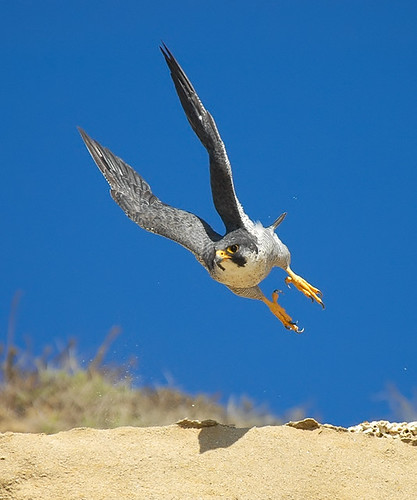 Peregrine Launch