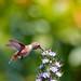 Rufous Hummingbird Female by Jim Frazee