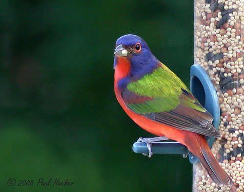 Painted Bunting (Passerina ciris) - When Easter Eggs Hatch