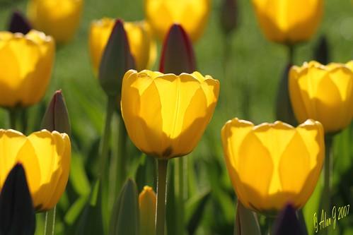 ny newyork canon tulip 7d albany upstatenewyork washingtonpark capitaldistrict 100mmmacrof28lisusm