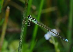 Male Scarce Blue-tailed Damselfly