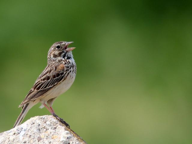 Vesper Sparrow (Pooecetes gramineus ) 20110614