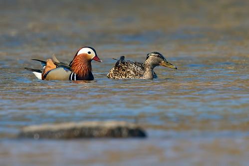 Mandarin Duck and Female Mallard