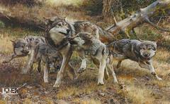 pet(0.0), lycaon pictus(0.0), animal(1.0), canis lupus tundrarum(1.0), west siberian laika(1.0), czechoslovakian wolfdog(1.0), gray wolf(1.0), red wolf(1.0), mammal(1.0), jackal(1.0), tamaskan dog(1.0), fauna(1.0), greenland dog(1.0), wolfdog(1.0), saarloos wolfdog(1.0), coyote(1.0), jã¤mthund(1.0), wildlife(1.0),