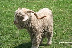 Tiftik keçi