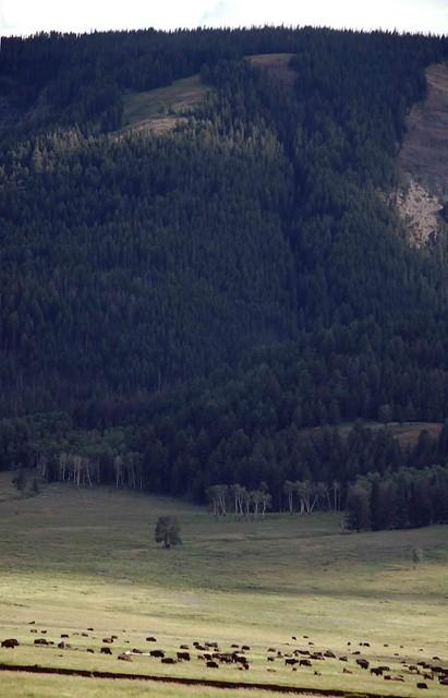Manada de bisontes en Valle de Lamart