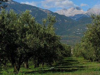 olive grove and Mytikas