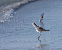 animal, charadriiformes, sea, fauna, redshank, calidrid, sandpiper, beak, bird, wildlife,