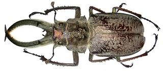 Sphaenognathus feisthameli (Guérin-Méneville, 1838) male
