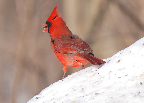 cardinal sideview on seedguard