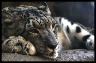 Snow Leopard (reissue)