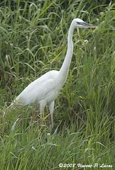 wetland(0.0), great egret(0.0), pelecaniformes(0.0), animal(1.0), fauna(1.0), little blue heron(1.0), heron(1.0), beak(1.0), bird(1.0), wildlife(1.0), egret(1.0),
