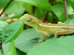 animal, green lizard, reptile, lizard, green, fauna, lacerta, scaled reptile,