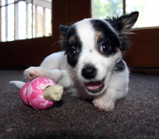 Sweet Puppy Happy Cute Chihuahua