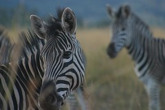 mustang horse(0.0), animal(1.0), mane(1.0), zebra(1.0), mammal(1.0), fauna(1.0), wildlife(1.0),