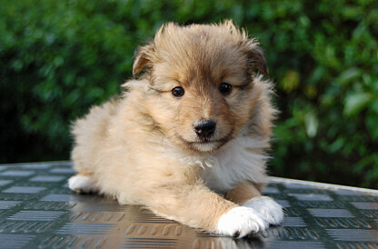 Sheltie Puppies on Shetland Sheepdog Puppy   Flickr   Photo Sharing