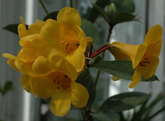 Yellow flowers in Temperate House