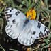 Checkered White - Photo (c) Jerry Oldenettel, some rights reserved (CC BY-NC-SA)