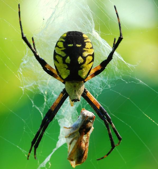 Golden orb weaver spider flickr photo sharing for Yellow garden spider poisonous