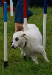 silken windhound(0.0), borzoi(0.0), dog sports(1.0), animal sports(1.0), animal(1.0), dog(1.0), sports(1.0), pet(1.0), mammal(1.0), conformation show(1.0), dog agility(1.0),