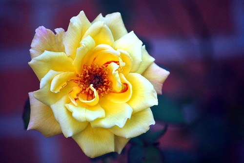 yellowrose nikond60 sooc brickbokeh macroflowerlovers