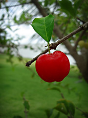 The Acerola Cherry