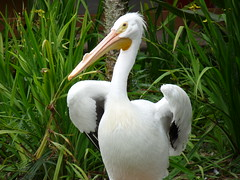 great egret(0.0), wildlife(0.0), animal(1.0), pelican(1.0), fauna(1.0), beak(1.0), bird(1.0), seabird(1.0), egret(1.0),
