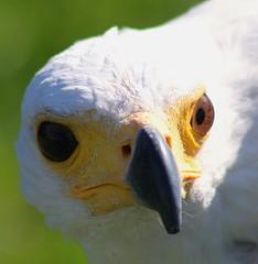 In search of the Matese Falcon #15 - African Fish Eagle, Malta Falconry Centre