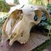 Small photo of Ram Skull