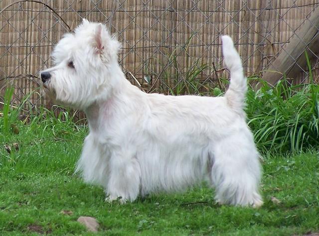 Cute Funny Puppy West Highland White Terrier Westie