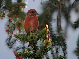Male Common Crossbill (Loxia ...