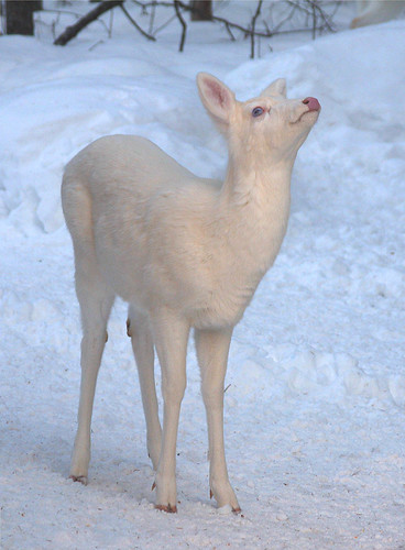 "Albino Whitetail Deer Blue Eyes Saying ""I Surrender No More Snow Please"""