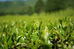 보성 녹차밭