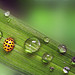 lady bug with waterdrops by SophieMuc