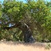 coast live oak - Photo (c) randomtruth, some rights reserved (CC BY-NC-SA)