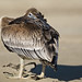 Brown Pelican (Pelecanus occidentalis) possibly distressed