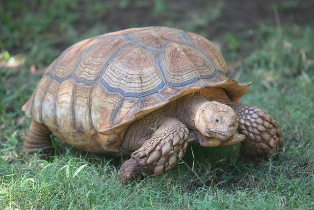 African spurred tortoise - photo#29