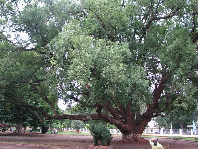 Cinnamomum camphora (Long não)
