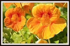 FLOWERS FROM ALASKA