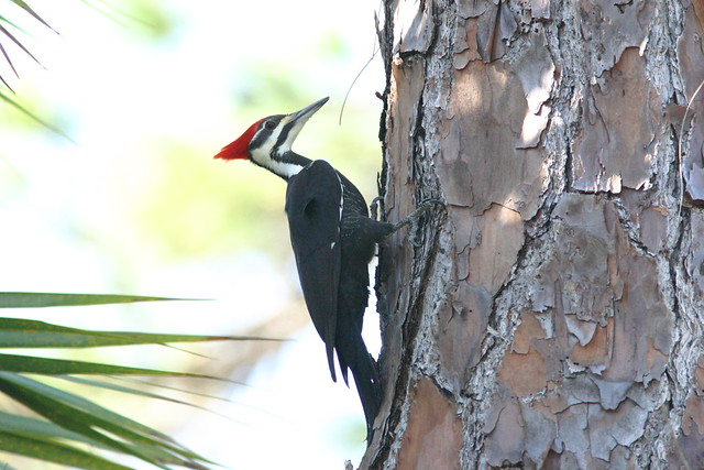 Pileated Woodpecker 2-2008_12_04