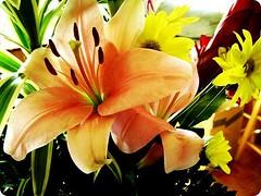 peruvian lily(0.0), flower(1.0), yellow(1.0), plant(1.0), lilium bulbiferum(1.0), floristry(1.0), daylily(1.0), petal(1.0),