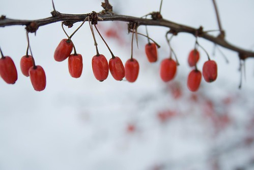 Red iced berries