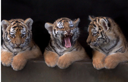 Triplet cubs look out for the first time
