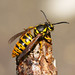 Eastern Yellowjacket - Photo (c) sankax, some rights reserved (CC BY-NC)