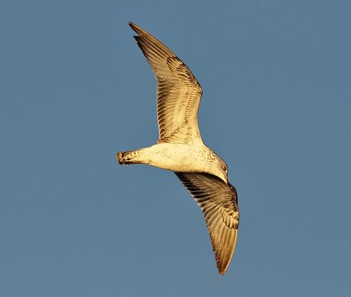 bird nature birds animal evening nikon bravo colorado searchthebest weld wildlife seagull gull birding flight co windsor ornithology avian bif larimer neco d300 naturesfinest clff infinestyle