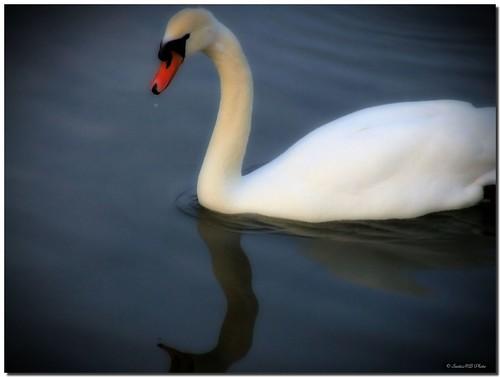 barcelona españa bird río mouth river swan spain ave catalunya garraf cisne orton pájaro foix potofgold cygnus anatidae desembocadura anseriformes cubelles fineartphotos