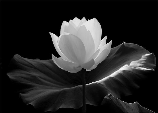 White Lotus Flower in black-and-white- IMGP7600