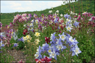 Image of Columbine Memorial. flowers columbines littletoncolorado columbinememorial aquilegiacaerulea