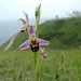 Bee Orchid in the Breeze (Video) by Durlston Country Park