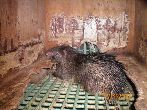 Asian Brush-Tailed Porcupine